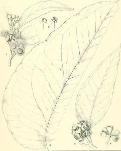 eucalyptus_gigantea_from_-a_critical_revision_of_the_genus_eucalyptus-_1903_20088927024
